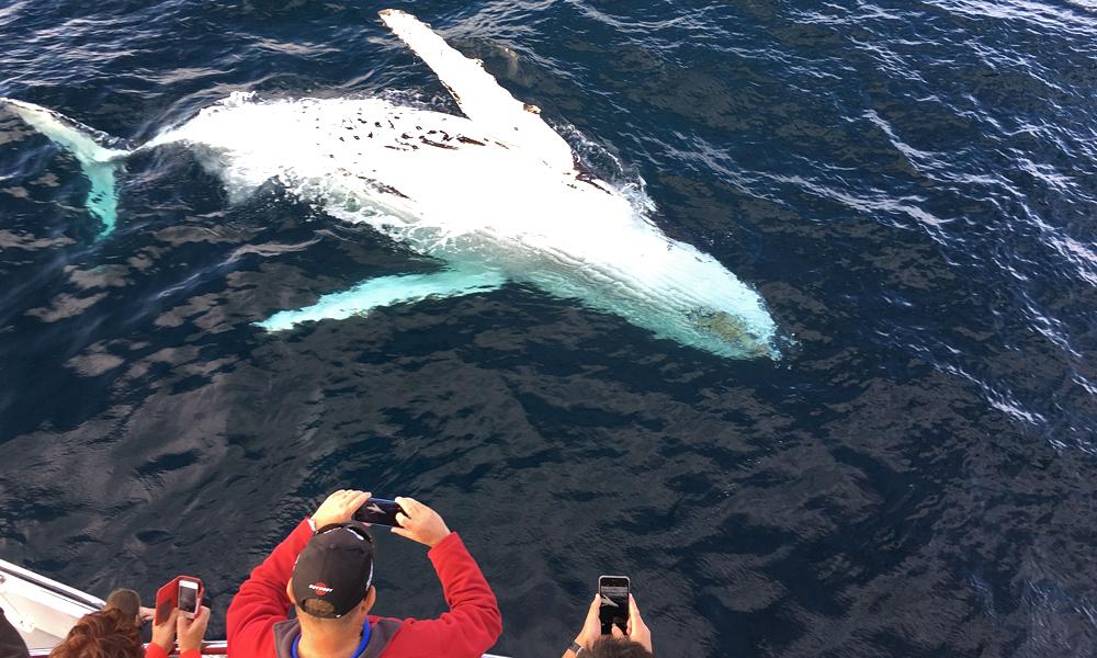 ballenas jorobadas en Puerto Vallarta
