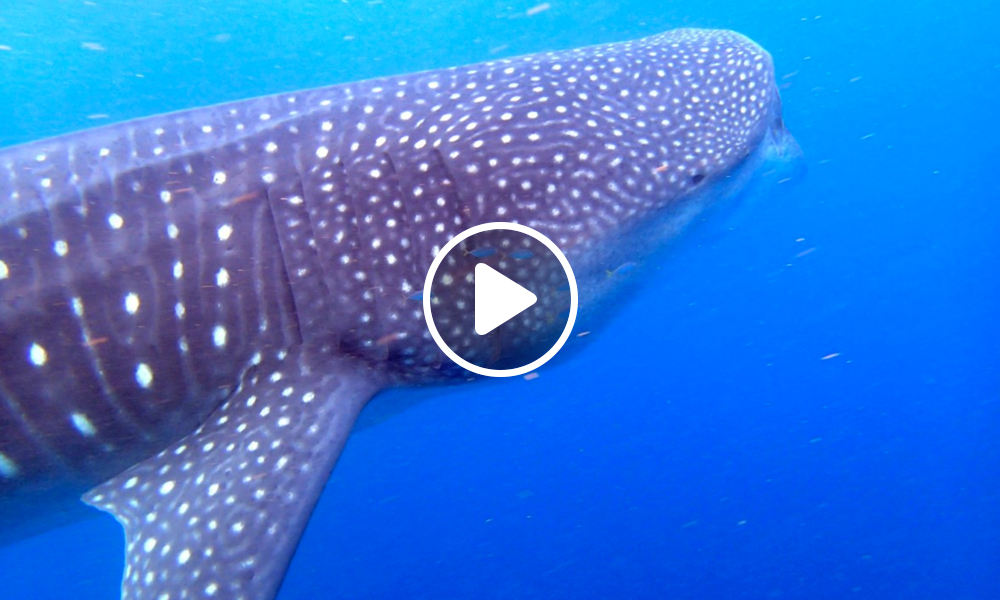 holbox-tiburon-ballena-1