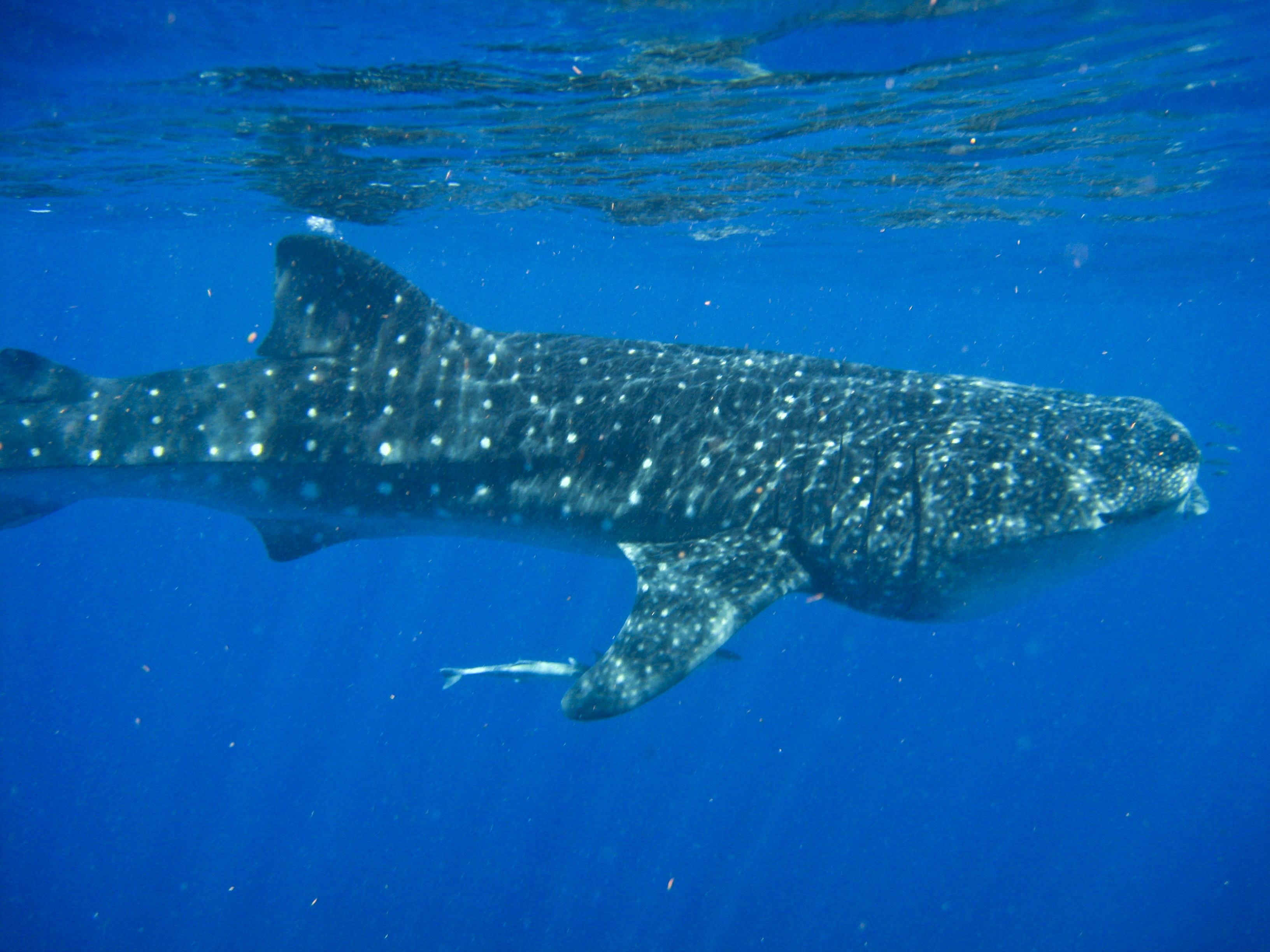 nado con tiburon ballena en isla holbox