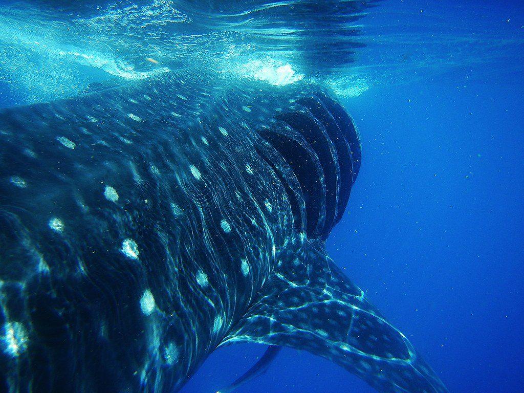 Nado con tiburón ballena