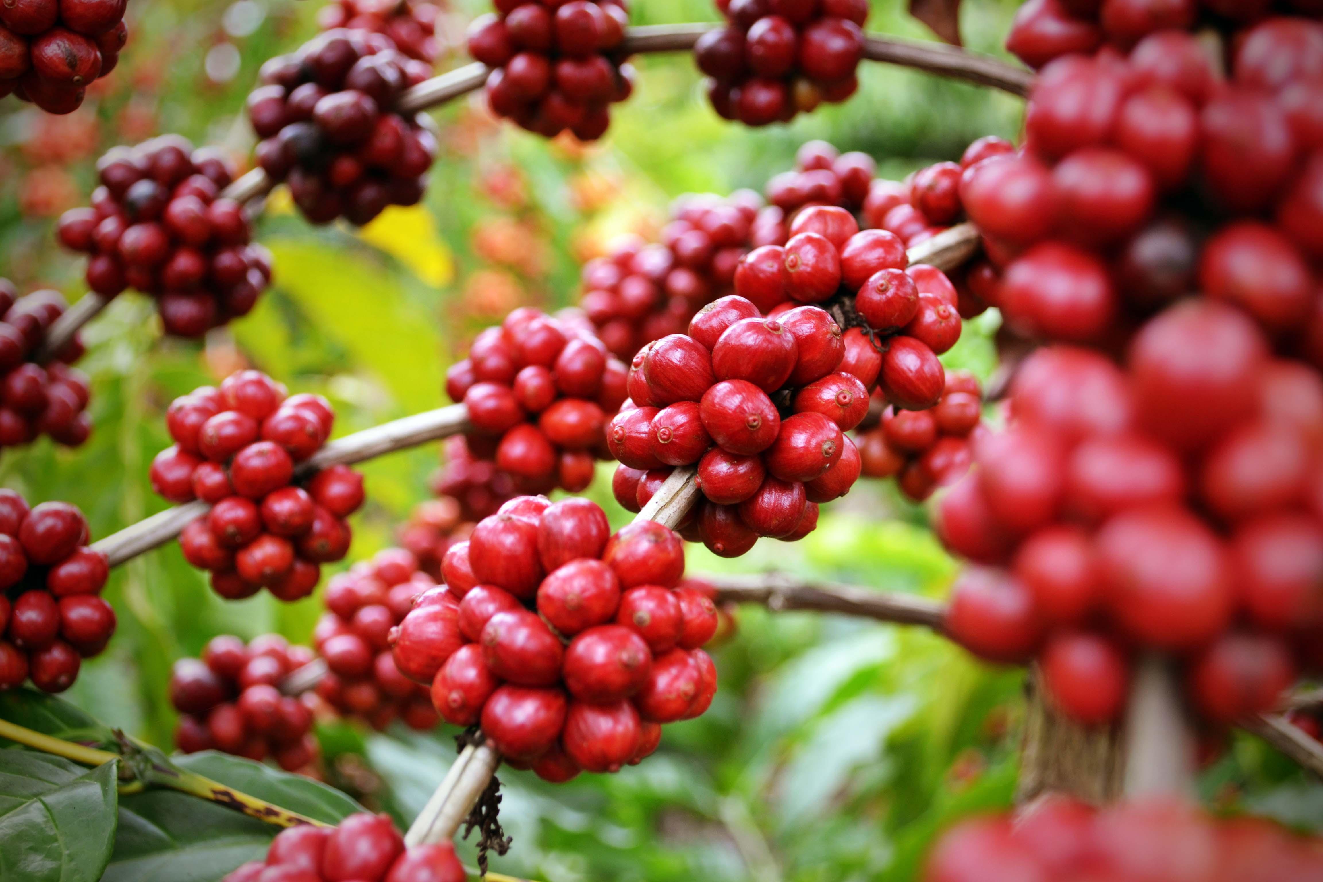 Rutas gastronómicas de México café