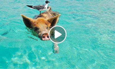 isla-de-cerdos