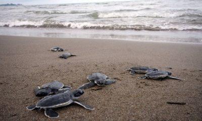 Las mejores playas para liberar tortugas