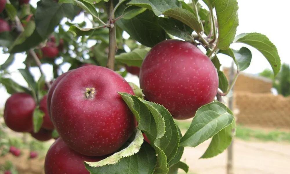 que-hacer-en-cuauhtemoc-chihuahua-huerta-manzanas
