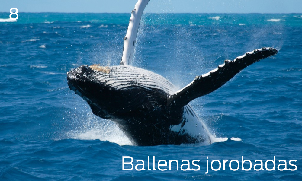 Avistar ballenas jorobadas