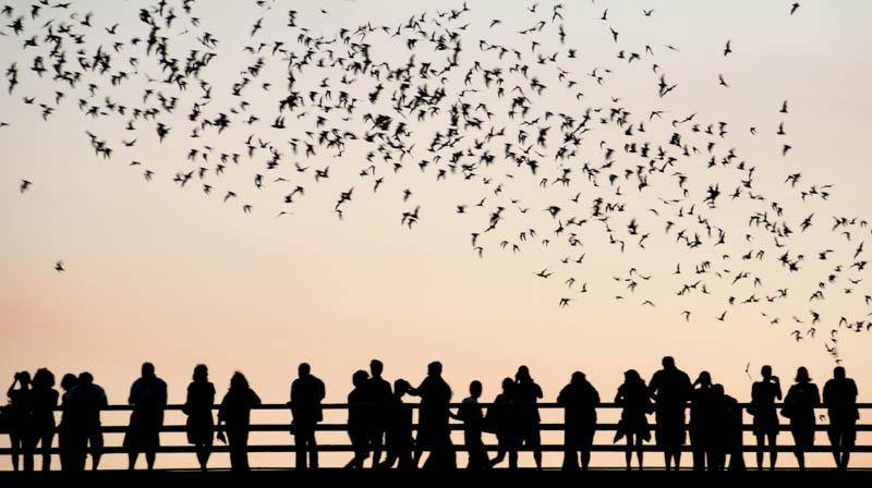 murciélagos volando en el Puente de Congreso