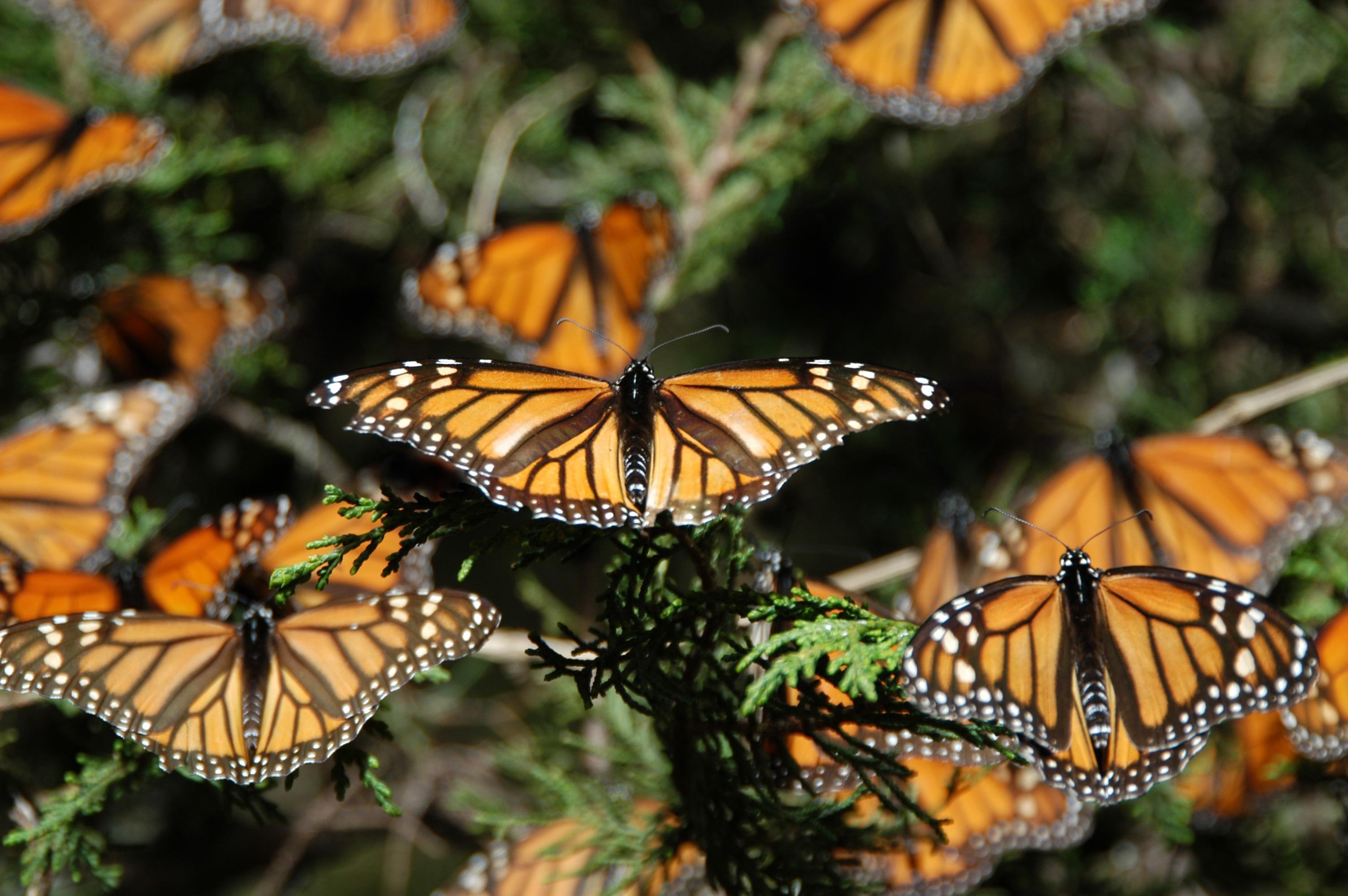 mariposas-monarca-en-el-estado-de-mexico-1