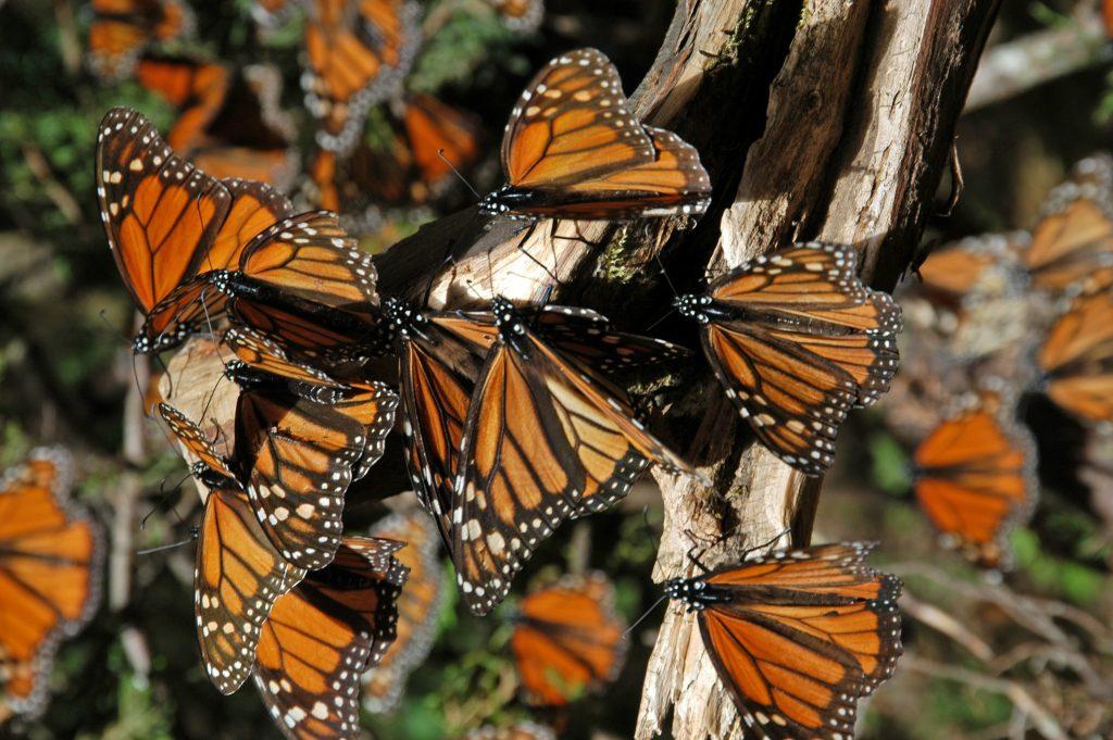 Mariposas monarca en el Estado de México