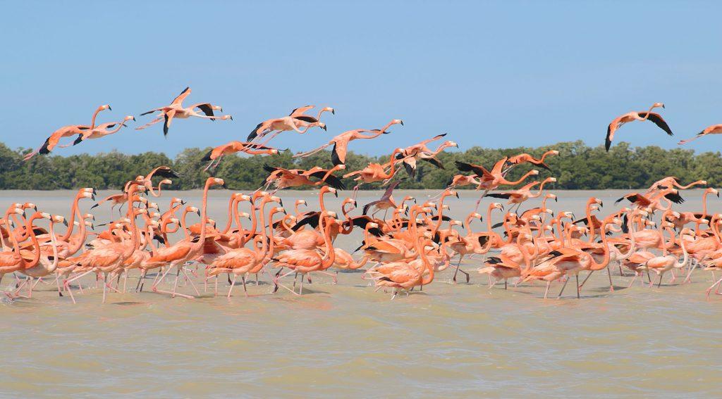 Dónde ver a los flamencos rosados