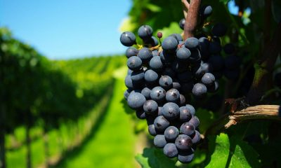 Explora los legendarios viñedos de Indiana