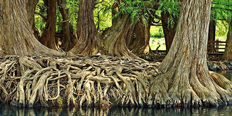 Los pobladores dicen que los ahuehuetes deben tener 700 años de antiguedad