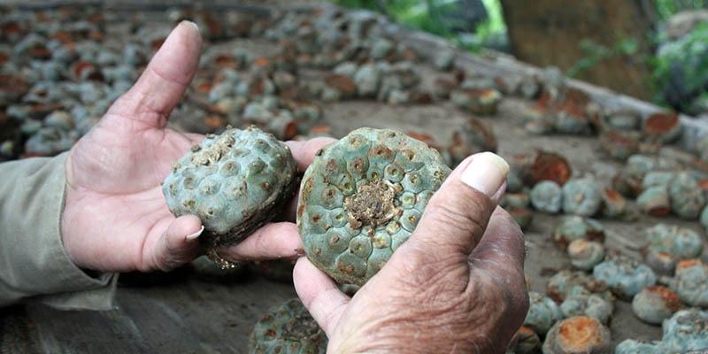 El peyote tiene usos medicinales y rituales