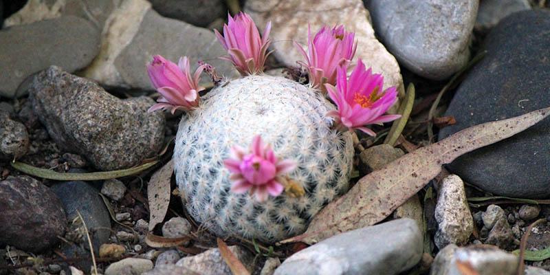 plantas-en-peligro-de-extincion-biznaga-bola-de-hilo