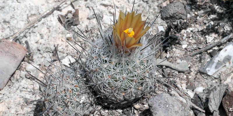 plantas-en-peligro-de-extincion-mandragora