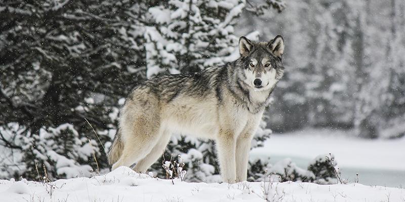 Perros lobo Alberta