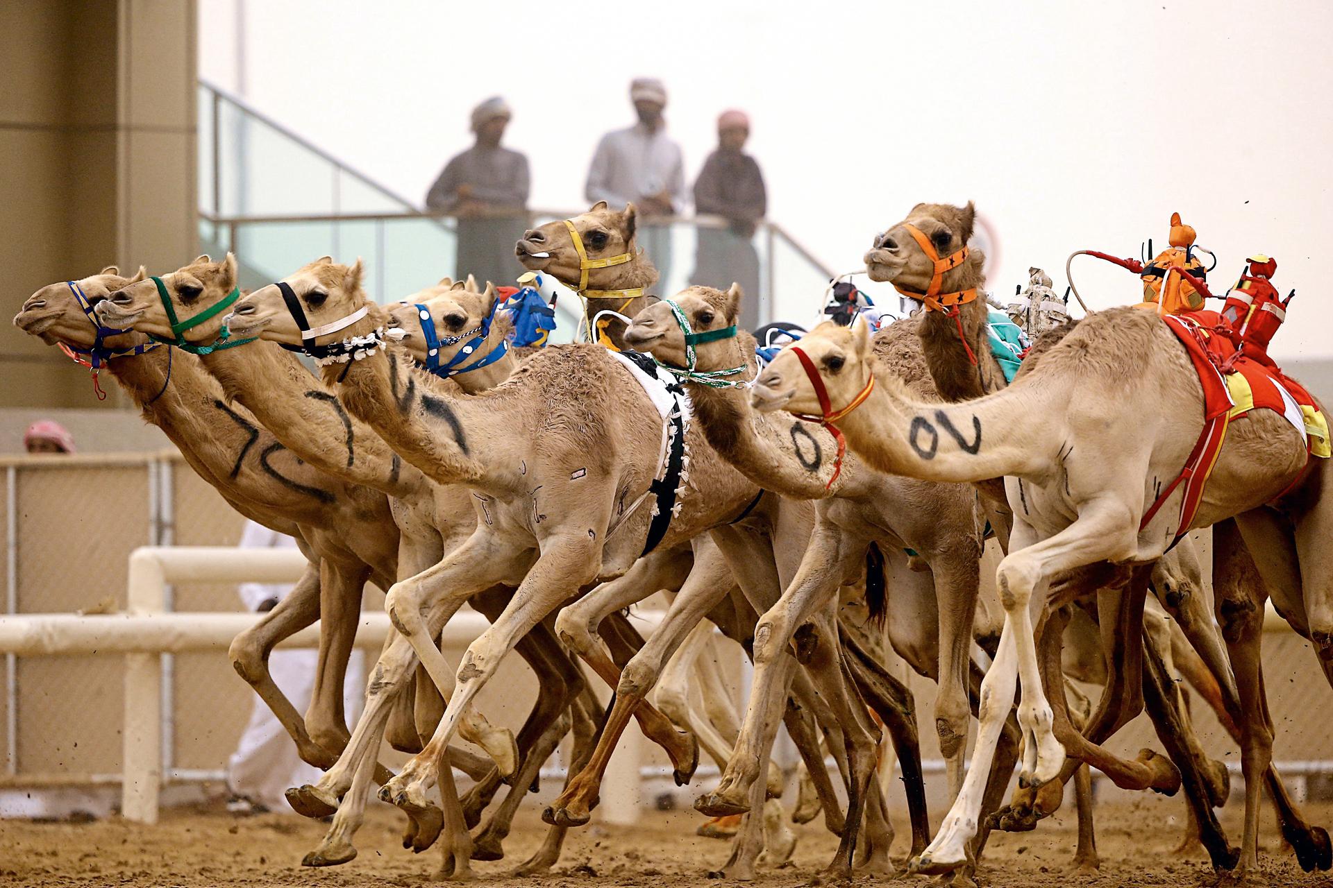 carreras de camellos