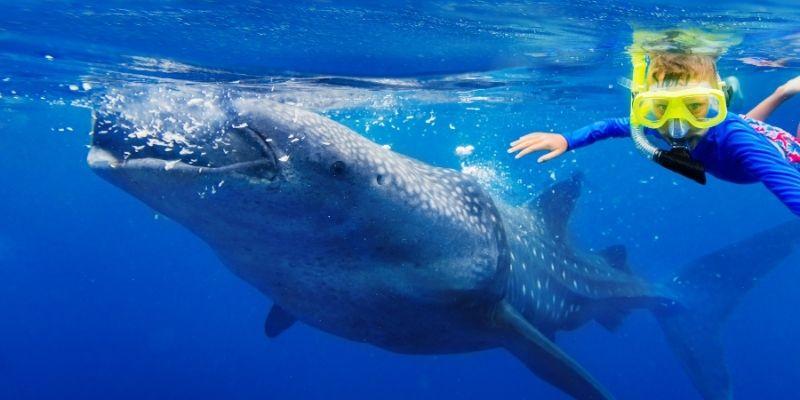 Guía esencial para nadar con tiburón ballena en Cancún